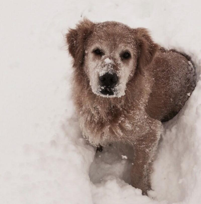 Goldie im Schnee